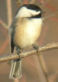 The Little Energizer Birdie